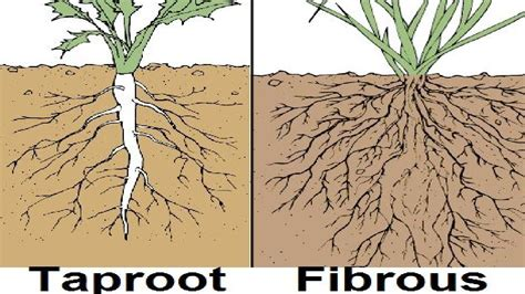 Names Of Modified Roots by Types Of Root System Outdated