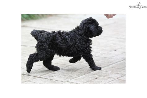 barbet puppies for sale barbet puppy for sale near seattle tacoma washington c18cad4c 2c11