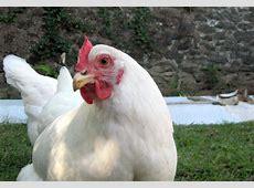 Solid white (chicken plumage) - Wikipedia White Chicken