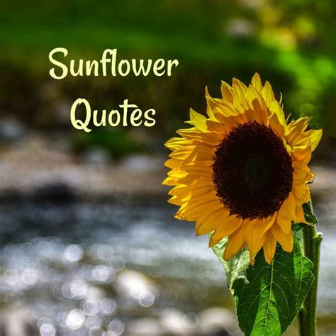 sunflower quotes   sunflower sayings  images
