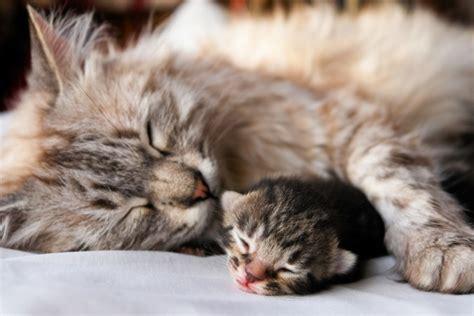 wann werden katzen geboren baby katzen richtiger umgang mit dem tierischen nachwuchs