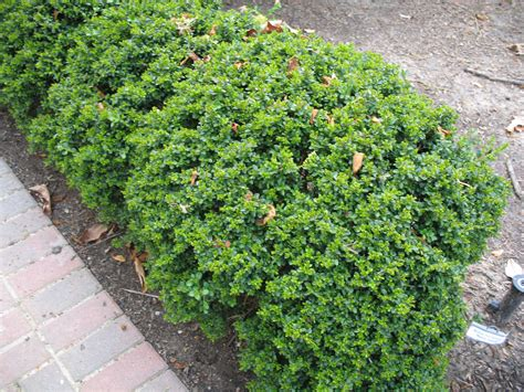 plant guide buxus microphylla morris