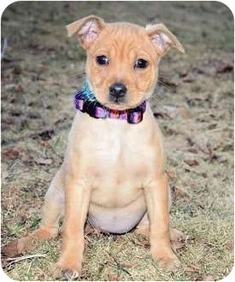 yorkie puppies for adoption in ma singi adopted puppy haverhill ma yorkie terrier boxer mix