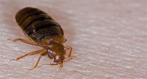 can you see bed bugs on your skin how to identify bed bugs by pictures knowzo