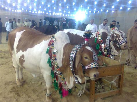 pakistani cow cows bakray eid 2009 cows janwar qurbani aanchal com pk