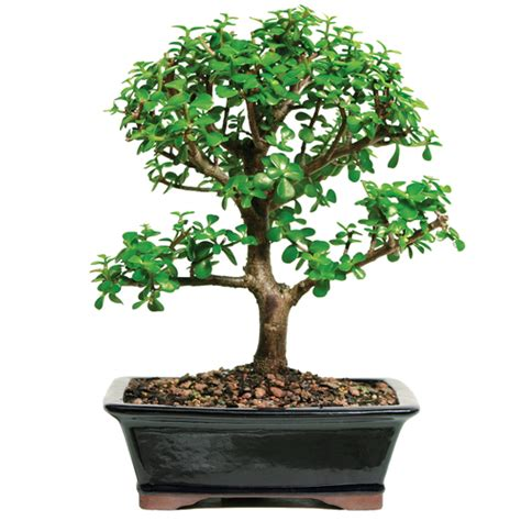 dwarf jade indoor bonsai outlet