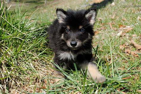 wolf puppies for sale in nc wolf hybrid puppy for sale near carolina 436c4177 8521