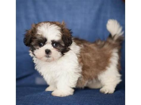 puppies for sale 300 shih tzu puppy for sale offer 300