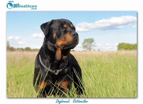 what were rottweilers bred for top breeds in south africa rottweiler pethealthcare co zatop breeds in