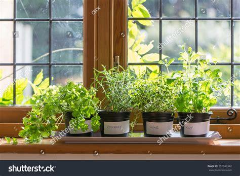 Window Sill Plant Pots Herbs In Plant Pots Growing On A Windowsill Stock Photo