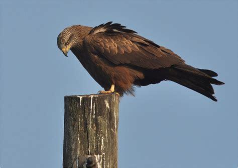 carvil a4 milan db schwarzer milan foto bild tiere wildlife