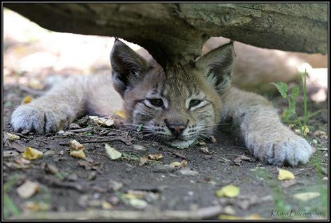 Bilder Langeweile by Langeweile Foto Bild Tiere Tierkinder Luchs Bilder