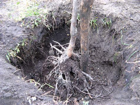 Arbre à Planter by La Plantation D Un Arbuste 224 Racines Nues