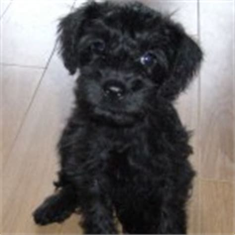 teddy schnoodle puppies for sale schnoodle puppies for sale iloveschnoodles