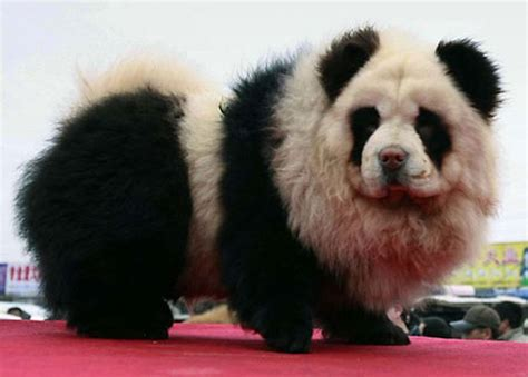 panda puppy panda dogs and tiger dogs are popular in china