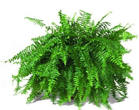 boston fern green for inside pinterest