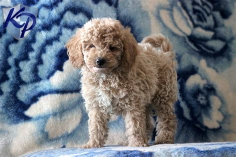 poodle puppies for sale in pa 1000 images about mini poodle puppies on valentines poodles and miniature