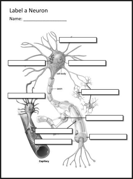 Neuron Worksheet by Chsh Teach Brain Nervous System Neuroscience Teaching