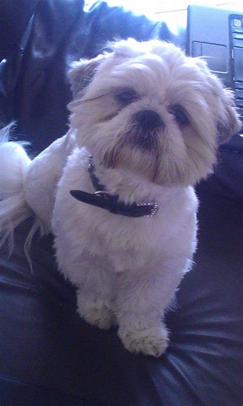 shih tzu hull shih tzu stud hull east of pets4homes