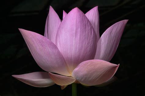 lotus flower in slideshow 965 22 lotus flower in a greenhouse in botanic