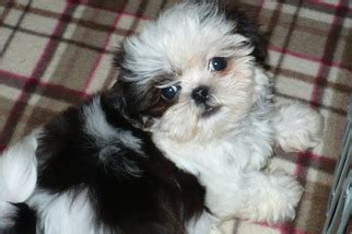 teacup shih tzu price range view ad shih tzu puppy for sale arizona tucson usa