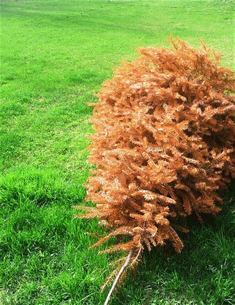 can you trim a christmas tree can you replant a cut tree the garden of eaden