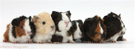 Six young Guinea pigs in a row photo WP33868
