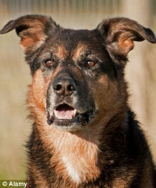 german shepherd cross rottweiler owner escapes prosecution after four is savaged by rottweiler because