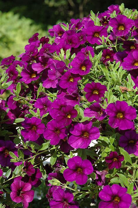 the cabaret of plants cabaret purple calibrachoa calibrachoa cabaret purple in detroit ann arbor dearborn royal