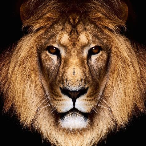 wallpaper for iphone 6 lion download king lion hd wallpaper for iphone 6 plus