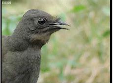 144 best Gondwana Rainforests of Australia images on Pinterest Lyrebird Song
