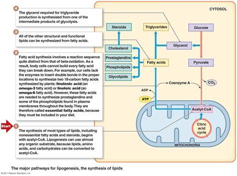 lipid metabolism diagram metabolism