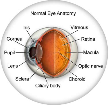 what part of the eye gives it color eye anatomy