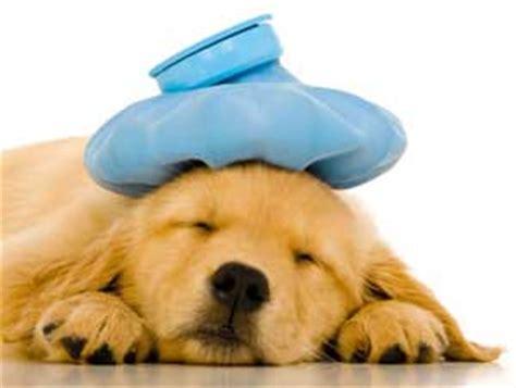 puppy sickness parvo canine parvovirus parvo symptoms diagnosis and treatment