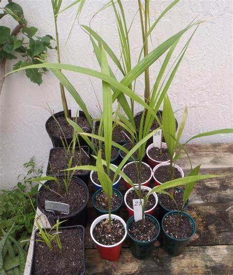 cuban royal palm seedlings colorful garden plants
