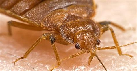 living with bed bugs 6 horrific realities of living with a bedbug infestation