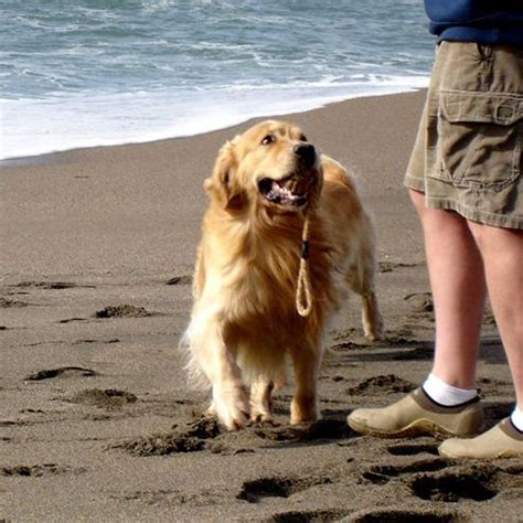 golden retriever san francisco golden retriever for sale san francisco dogs in our photo