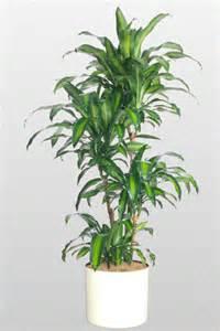 dracaena fragrans care plant images