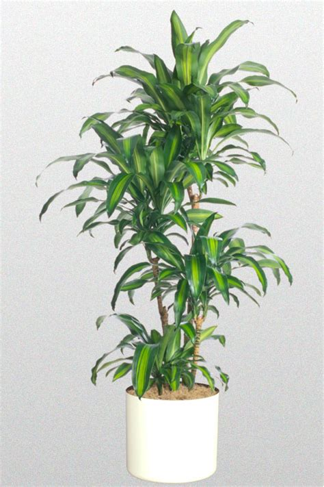 inside urban green low light low maintenance dracaena bowl a plant affair llc los angeles leading interior plant