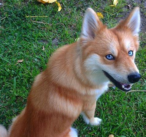 pomeranian husky fox white wolf stunning shows amazing foxlike looks