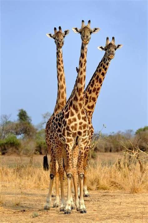 ver imagenes jirafas fotograf 237 a de xavier ortega para nthephoto jirafa con