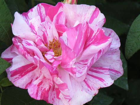 most popular flower file rose rosa mundi jpg wikimedia commons