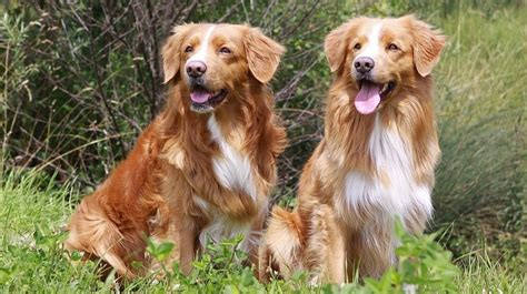 scotia duck tolling retriever puppies scotia duck tolling retriever nothing but dogs