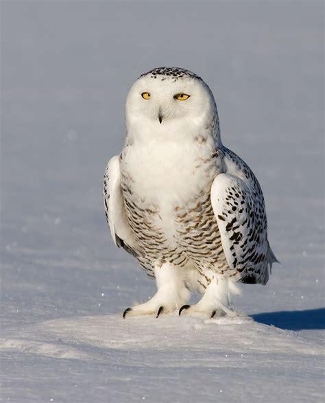 Jump Owl White snowy owl owlkingdom