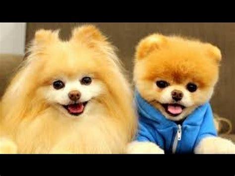 pomeranian stop barking top 10 cutest pomeranian puppies barking smiling being asleep and