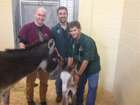miracle of the century a baby donkey comes out of womb a miracle for hollis the baby donkey habitat for horses