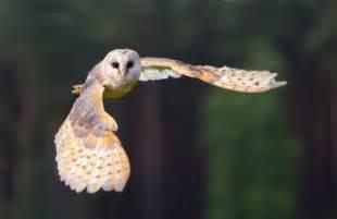 Barn Owl Beak Barn Owls Nesting