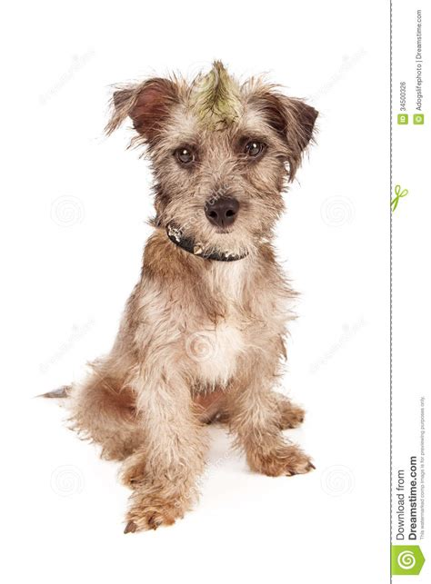 scruffy breeds bad with spiked collar and mohawk royalty free stock image image 34500326