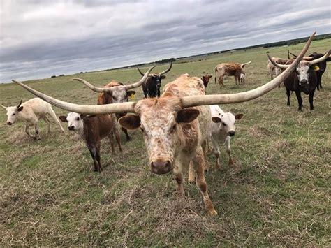 miniature texas longhorn breeders group home facebook
