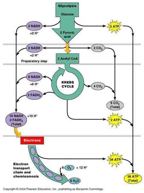 carbohydrates in atp production how many atp is produced during aerobic respiration quora